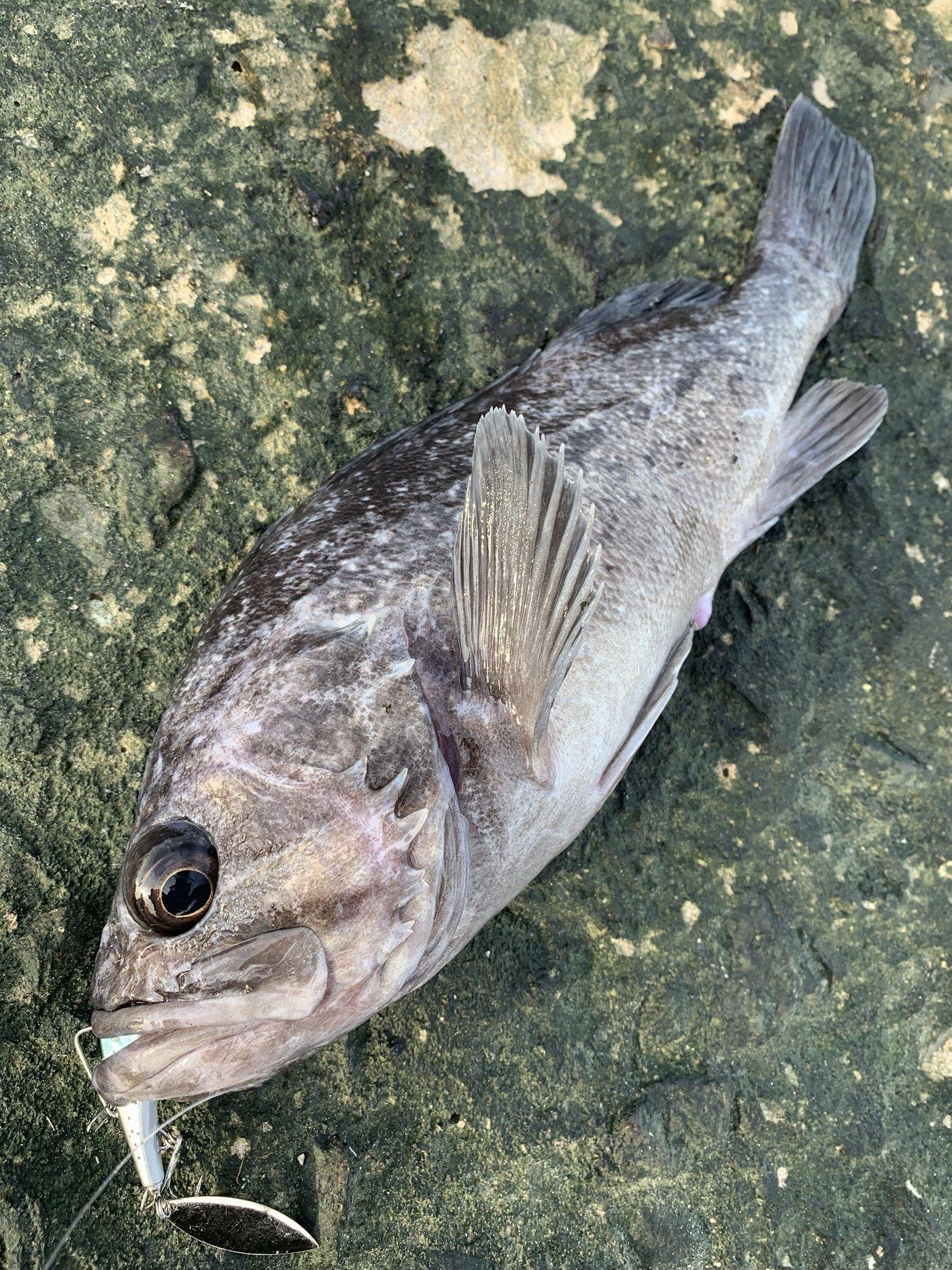 ヨッシーさんの投稿画像,写っている魚はソイ