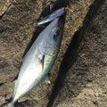 hikkaさんの北海道江別市での釣果写真