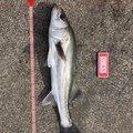 ドカさんの石川県でのスズキの釣果写真