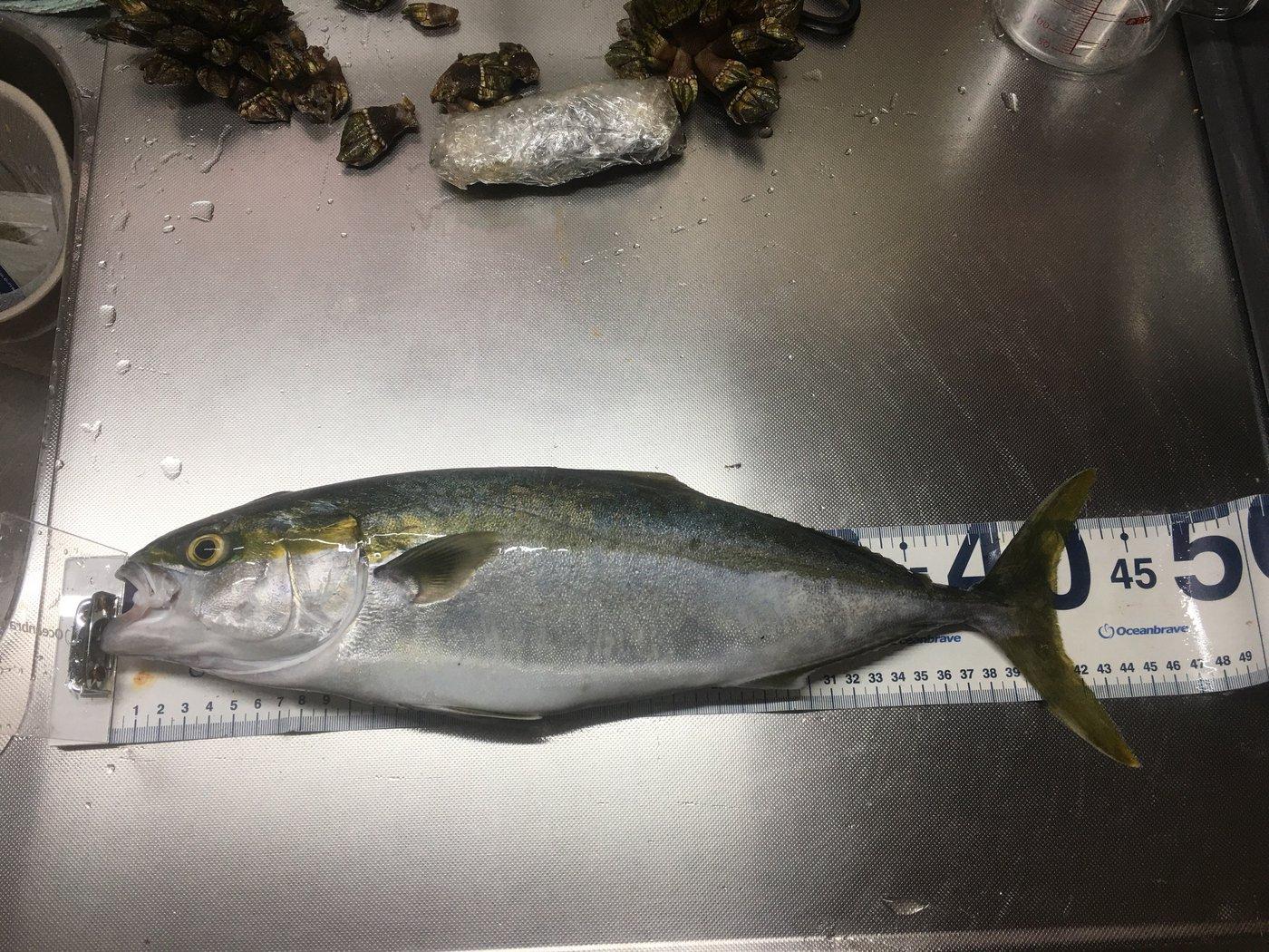 サカやんさんの投稿画像,写っている魚はブリ