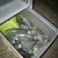 ぎーちゃんさんの兵庫県姫路市でのジンドウイカの釣果写真