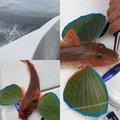 軽T INTERCEPTORさんの埼玉県でのホウボウの釣果写真