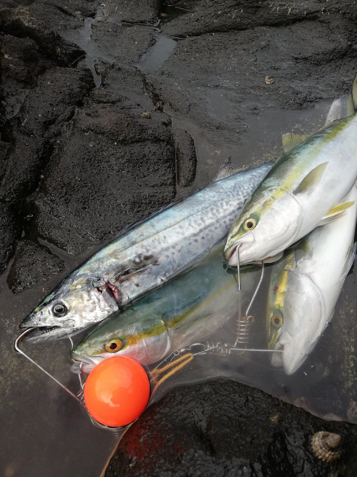 晴れ時々坊主さんの投稿画像,写っている魚はブリ,サワラ