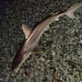 ドチザメの写真