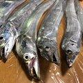 ニワコンさんの千葉県でのタチウオの釣果写真