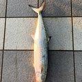 サゴシkillerELさんの富山県射水市でのサワラの釣果写真