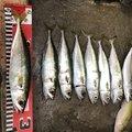 イカさんの山口県下松市での釣果写真