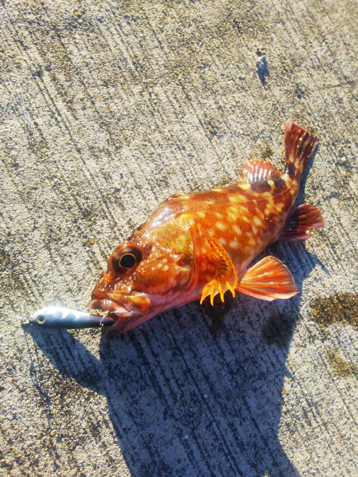 レッドテイルさんの投稿画像,写っている魚はカサゴ