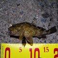 アブさんの兵庫県神戸市でのカサゴの釣果写真
