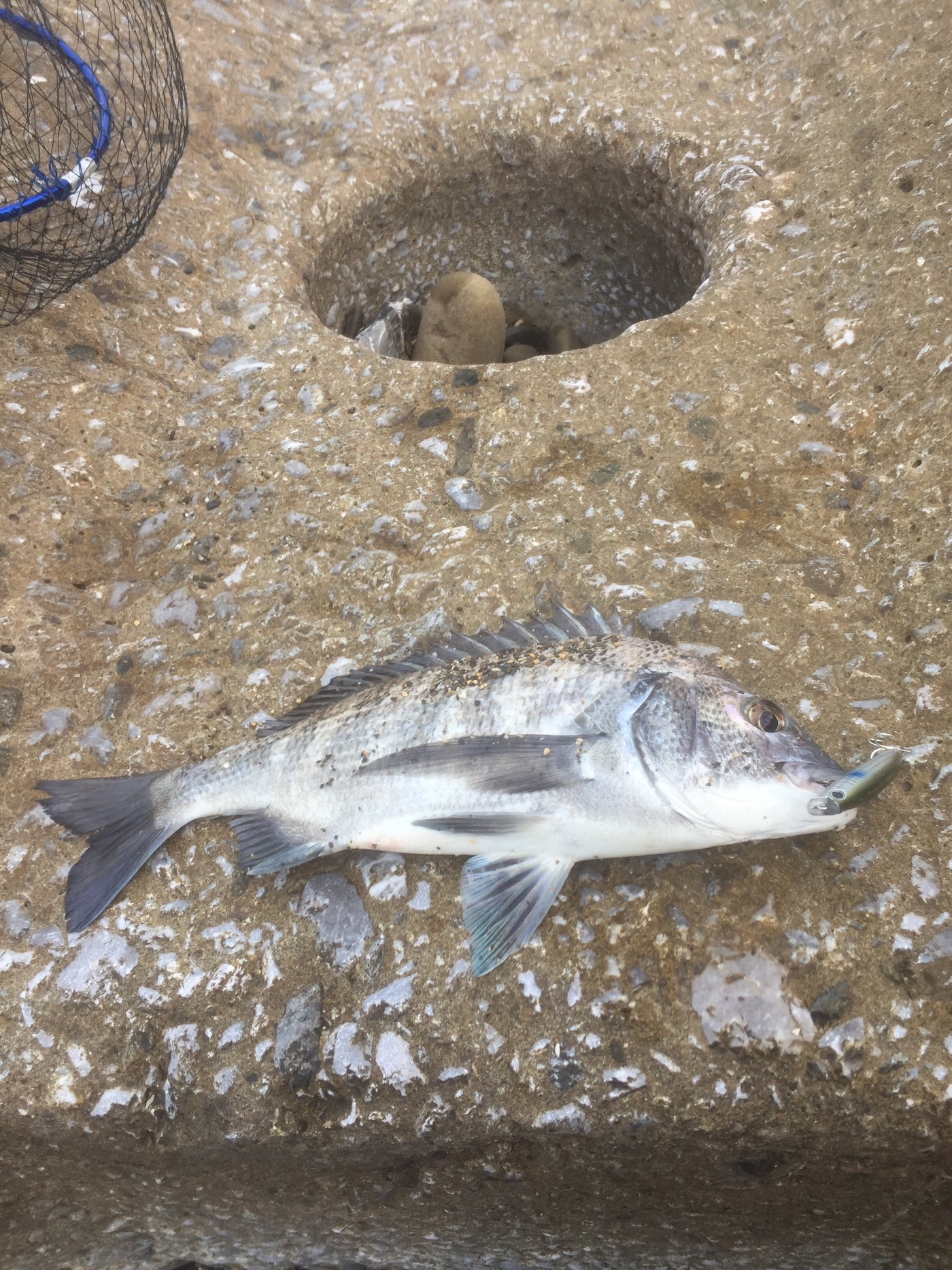 あすたさんの投稿画像,写っている魚はクロダイ