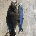 だるまさんの新潟県糸魚川市でのサワラの釣果写真