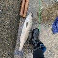 Fishingclubさんの福岡県糸島市でのスズキの釣果写真