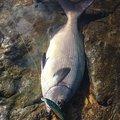 Robさんの長崎県でのイスズミの釣果写真