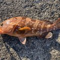 たろうさんの新潟県糸魚川市での釣果写真