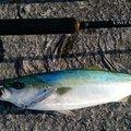 オトさんの山口県下松市での釣果写真