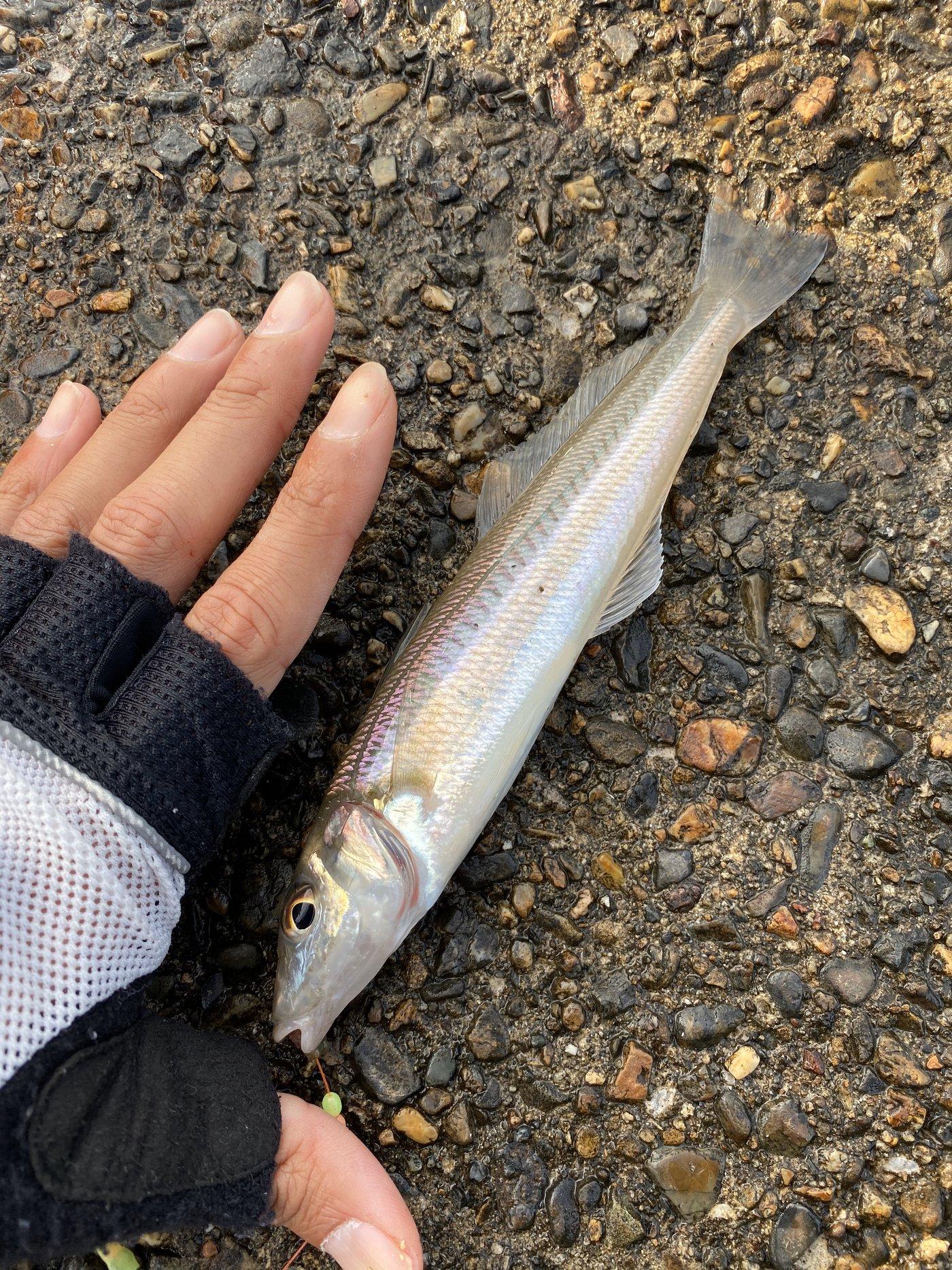 りなべるさんの投稿画像,写っている魚はシロギス