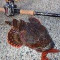 Hirotoさんのカジカの釣果写真