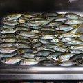 さかにゃんさんの宮崎県での釣果写真