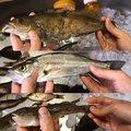 マサ(・ω・)ゞさんの福島県での釣果写真