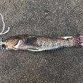 あばれてる君さんの青森県上北郡での釣果写真