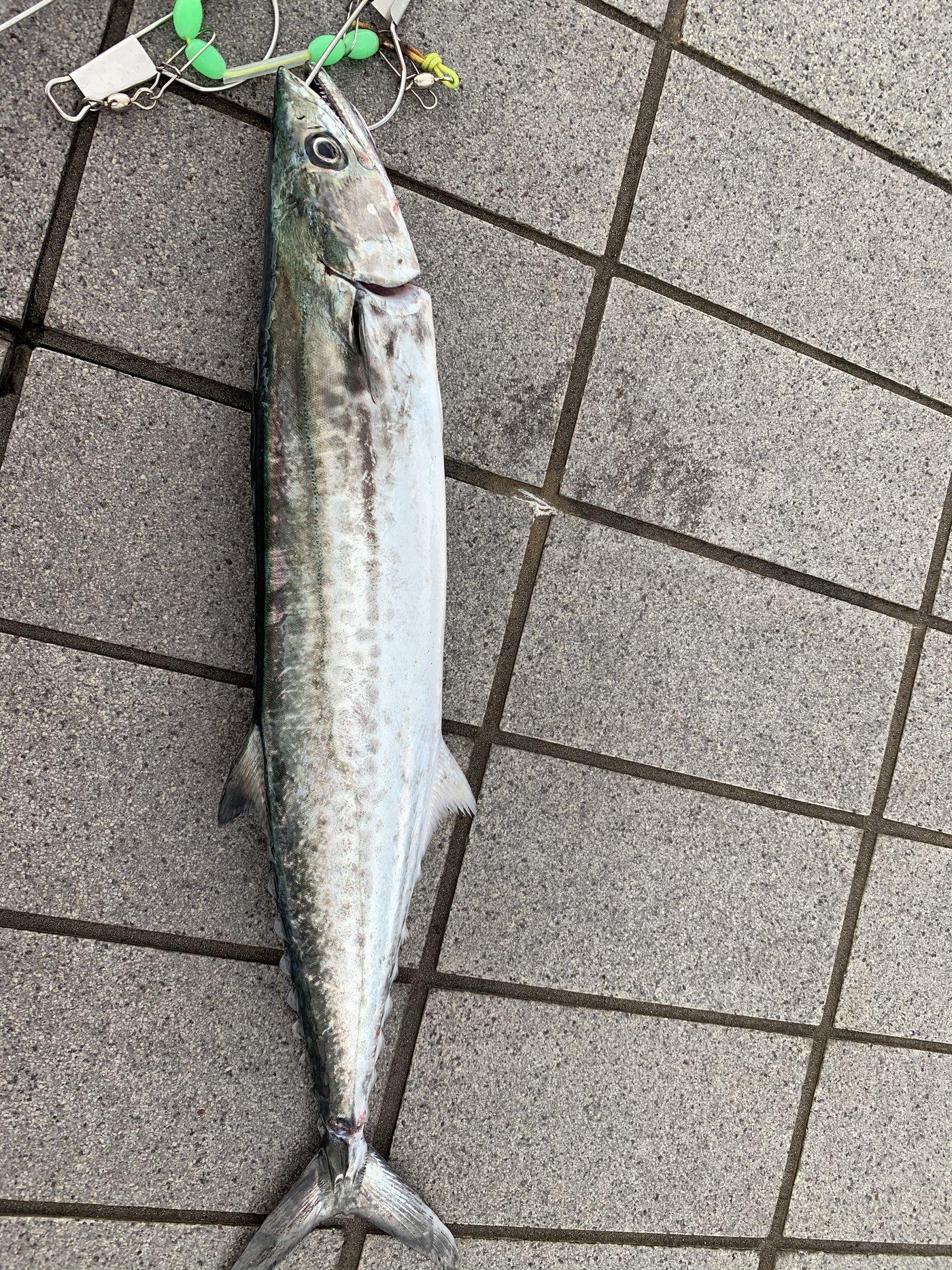 サゴシkillerELさんの投稿画像,写っている魚はサワラ