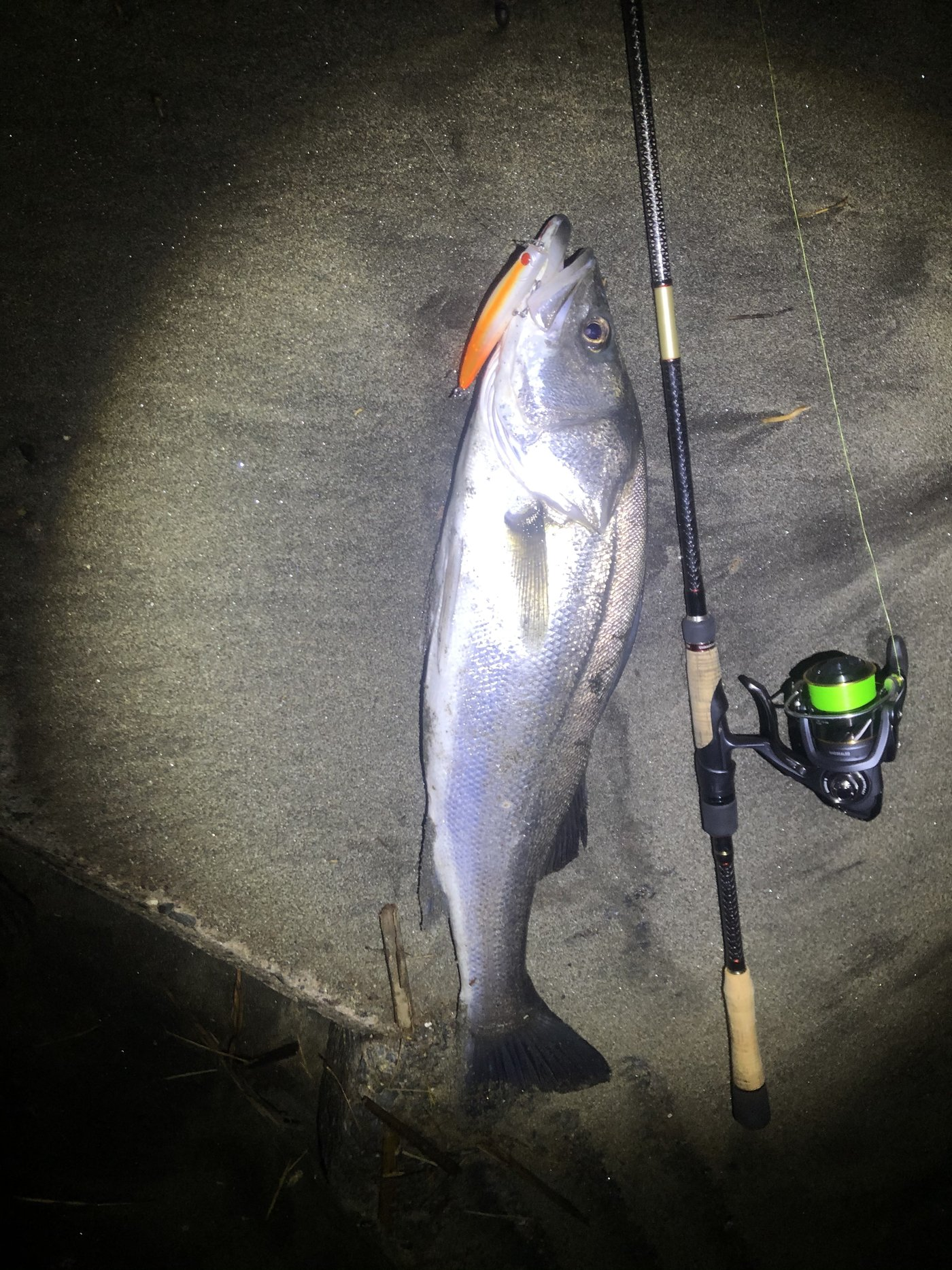Marley 07さんの投稿画像,写っている魚はスズキ