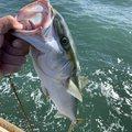 Mr.NRHDさんの茨城県鹿嶋市でのワラサの釣果写真