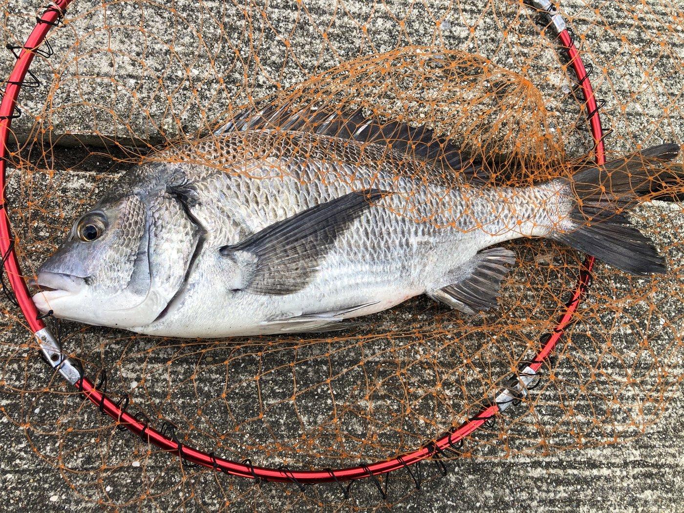 kiiysd13さんの投稿画像,写っている魚はクロダイ