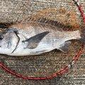 kiiysd13さんの和歌山県でのクロダイの釣果写真