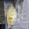 X_SIROKUMA_Xさんの宮崎県での釣果写真