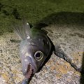 ばかぼんさんの山形県での釣果写真
