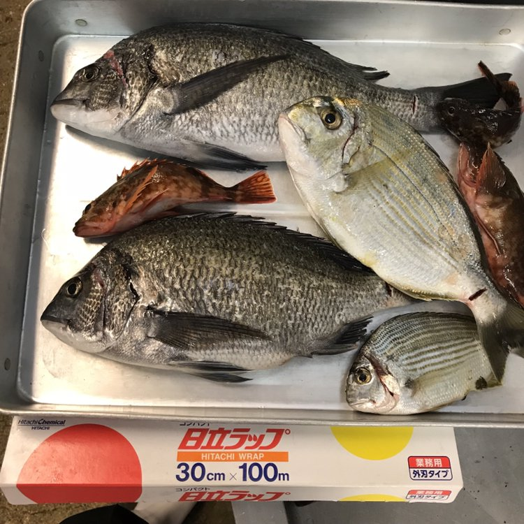 Katsunori さんの投稿画像,写っている魚はクロダイ,ヘダイ,カサゴ