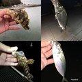 しんいちさんの愛知県でのタケノコメバルの釣果写真