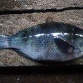 レッドテイルさんの山口県下松市での釣果写真