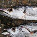 うきゆわくさんの兵庫県でのタチウオの釣果写真