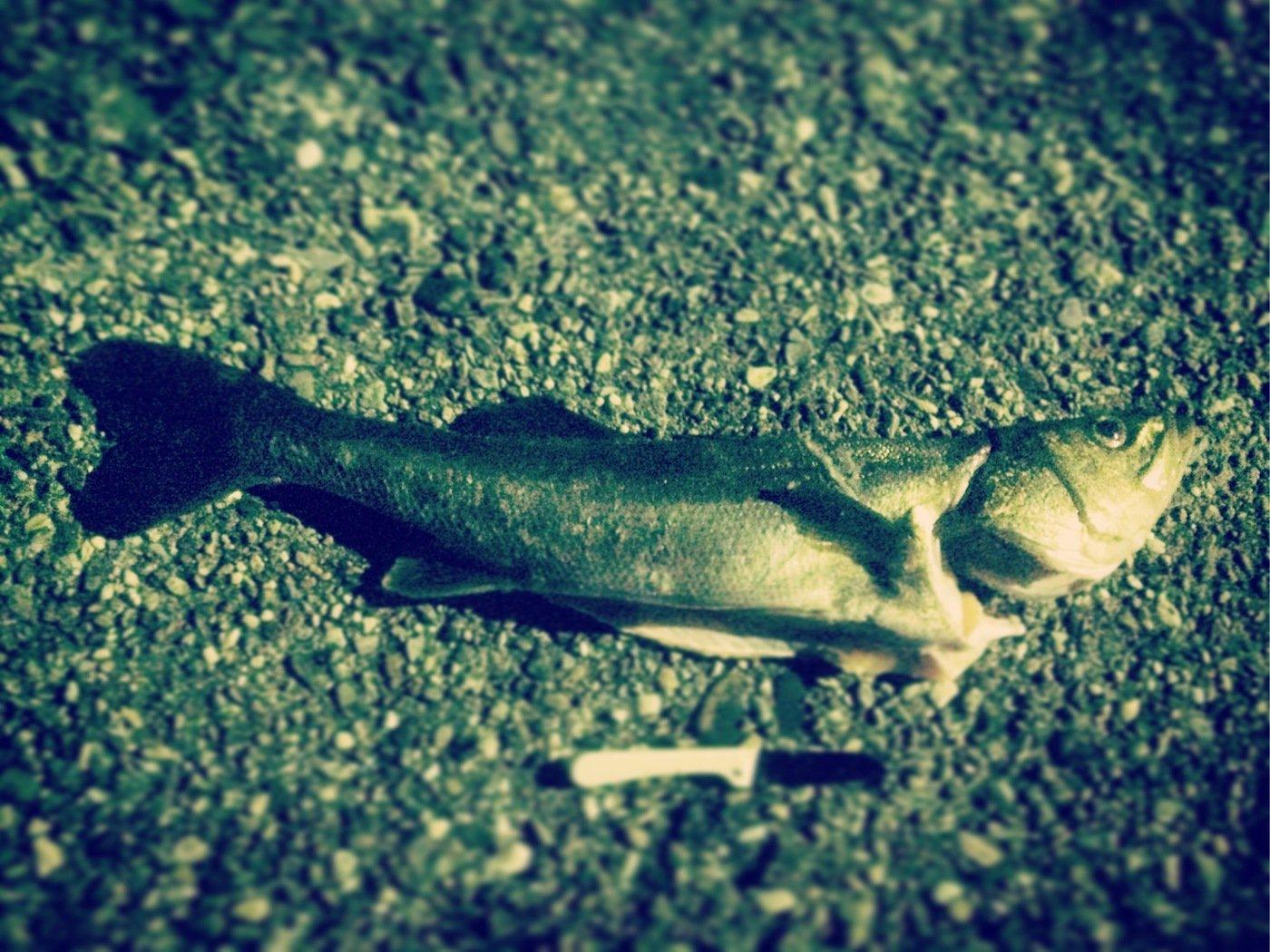 shnbkskさんの投稿画像,写っている魚はスズキ
