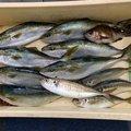 かーずさんの神奈川県でのアジの釣果写真