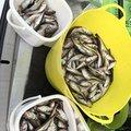 かおりじゃんさんの秋田県での釣果写真