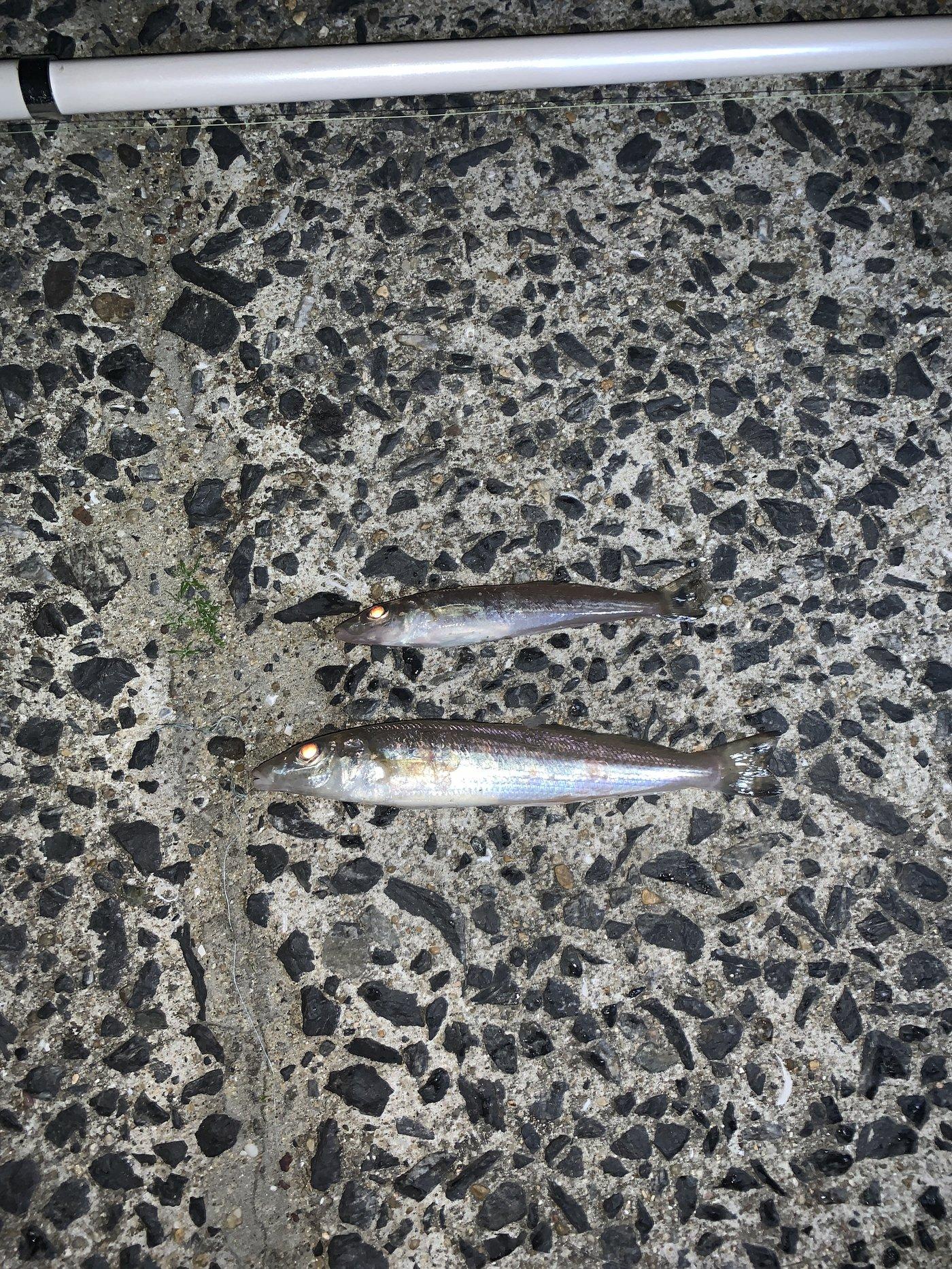 GOD大好き人間さんの投稿画像,写っている魚はシロギス,