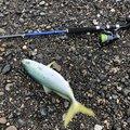 てるちゃんさんの山梨県での釣果写真