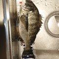蓬さんのクロダイの釣果写真