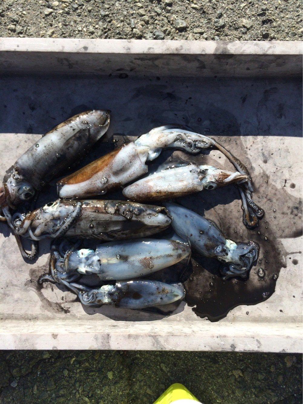 なかやん。さんの投稿画像,写っている魚はアオリイカ