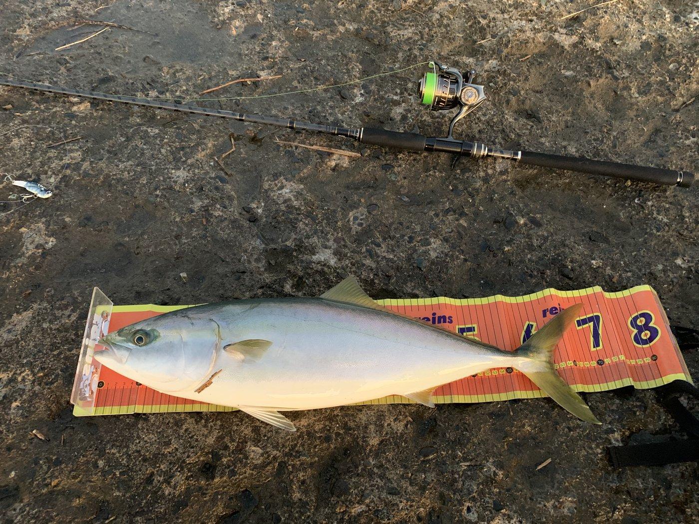 YASUさんの投稿画像,写っている魚はブリ,スズキ