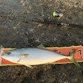 YASUさんの神奈川県平塚市でのスズキの釣果写真
