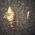 haruさんの富山県魚津市での釣果写真