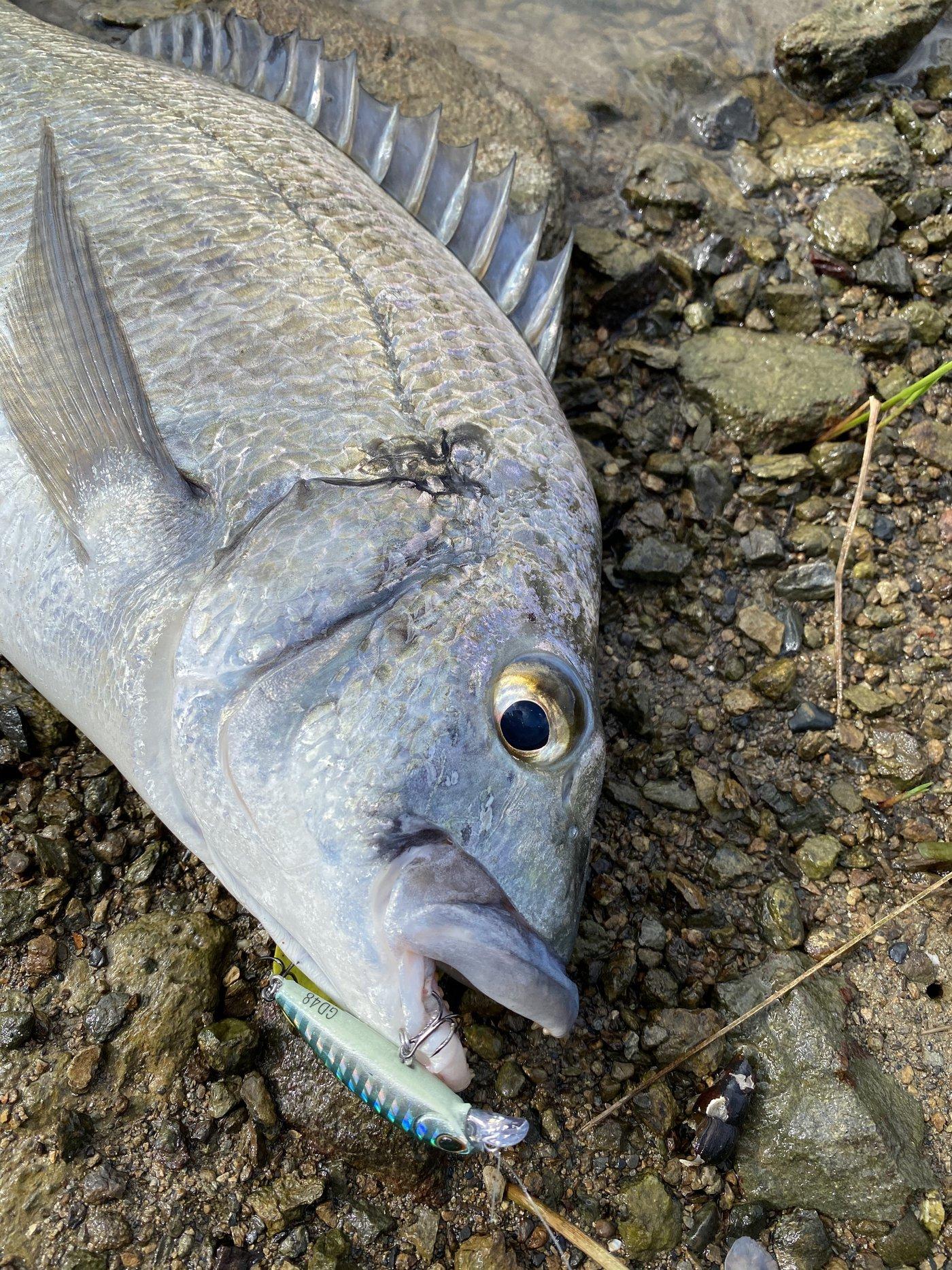 かつてのバスプロさんの投稿画像,写っている魚はクロダイ