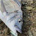 かつてのバスプロさんのクロダイの釣果写真