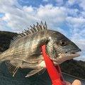 釣り吉さんのクロダイの釣果写真