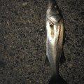 マサちゃんさんの新潟県三島郡での釣果写真
