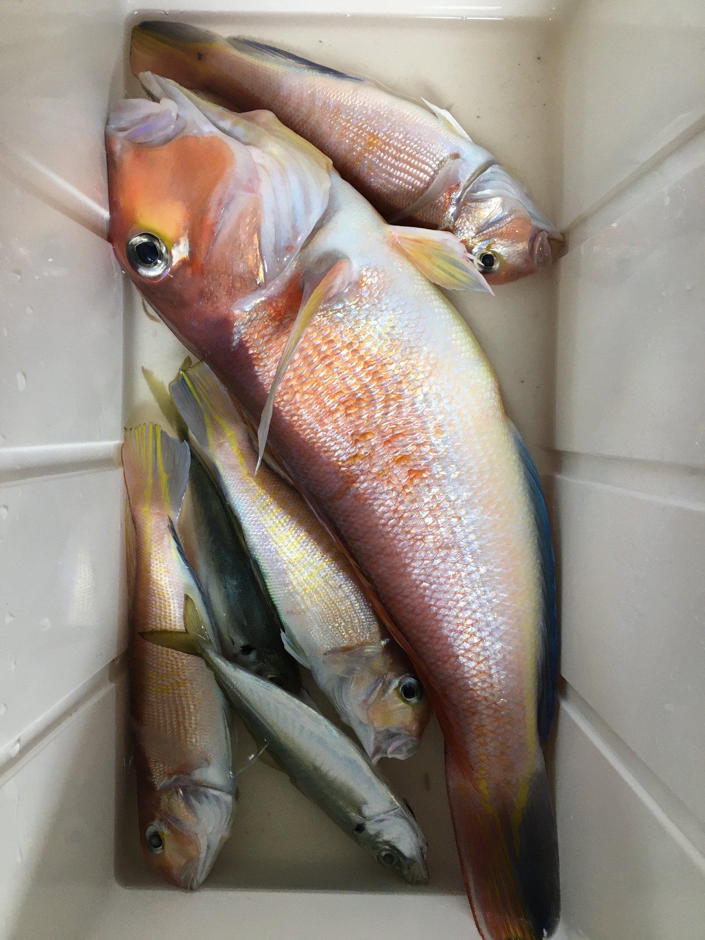 鯊太郎さんの投稿画像,写っている魚はアマダイ,アジ